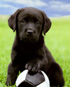 Black Lab Puppy Picture