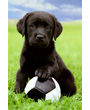 Black Labrador puppy with ball