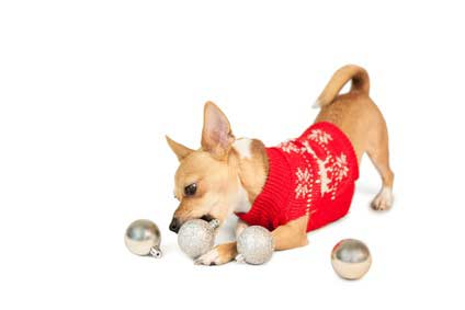Tan Chihuahua dog in red Christmas sweater with ornaments