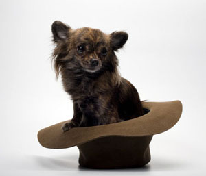 Chihuahua Puppy Dog Sitting in Brown Hat