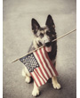 Shepherd dog holding American flag