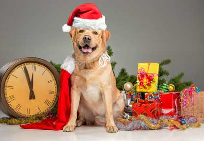 Merry Christmas and Happy New Year Labrador dog picture