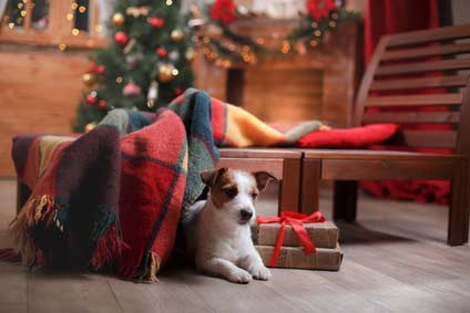 Jack Russell terrier dog with Christmas decorations