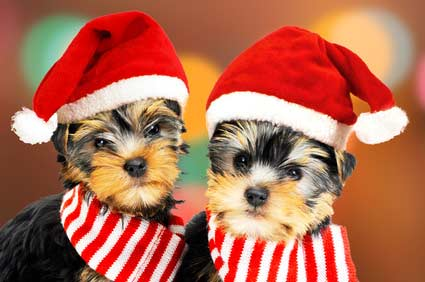 Two small Yorky dogs wearing Santa hats