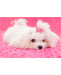 Cute white Maltese puppy with pink bow
