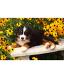 Bernese mountain dog puppy in yellow flowers