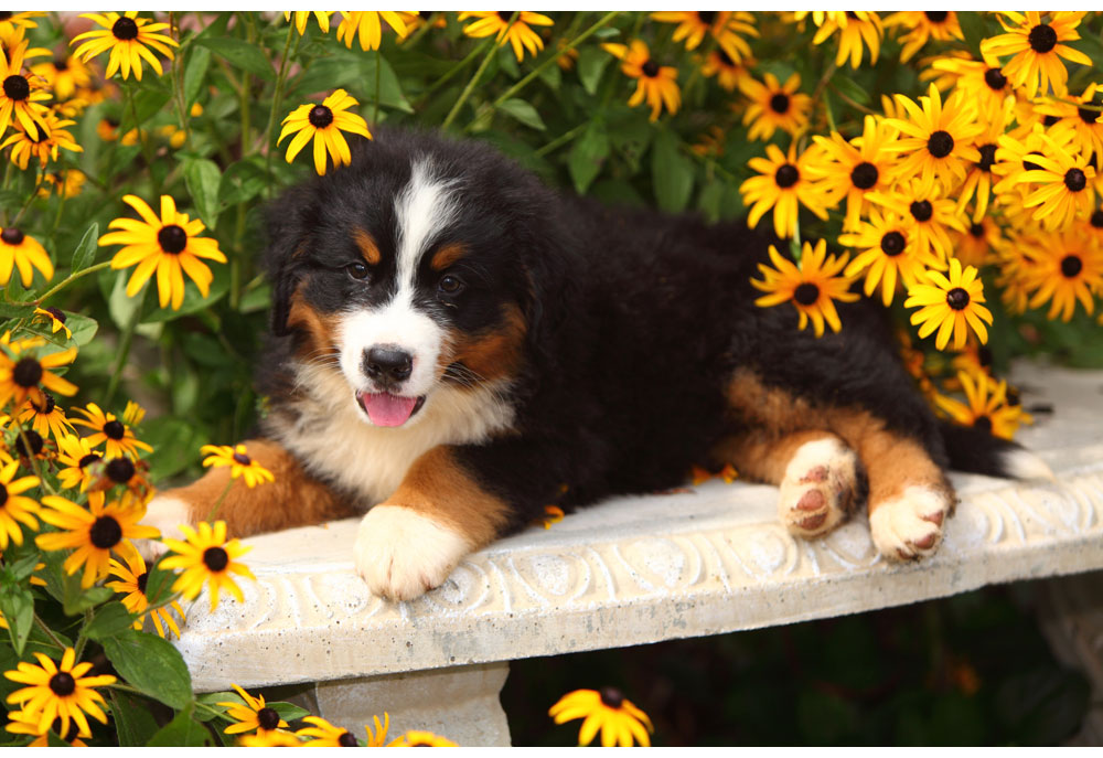 Picture of Bernese Mountain dog puppy laying in yellow flowers