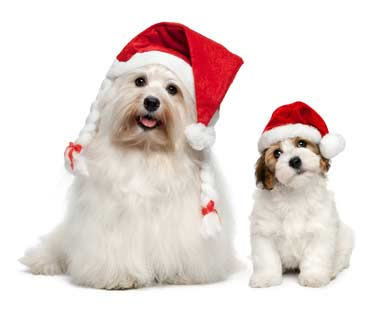 Father and son Bichon Havanese dogs waiting for Christmas- Dogs In Pictures