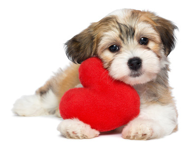 Dogs for Valentines Day, Bichon Havanese with heart, love dogs