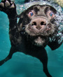 Black Labrador dog in water