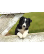 Black and white Border Collie Puppy