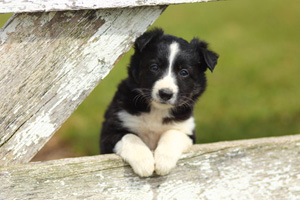 Black and white Border Collie Puppy Looks Through Rustic Fence