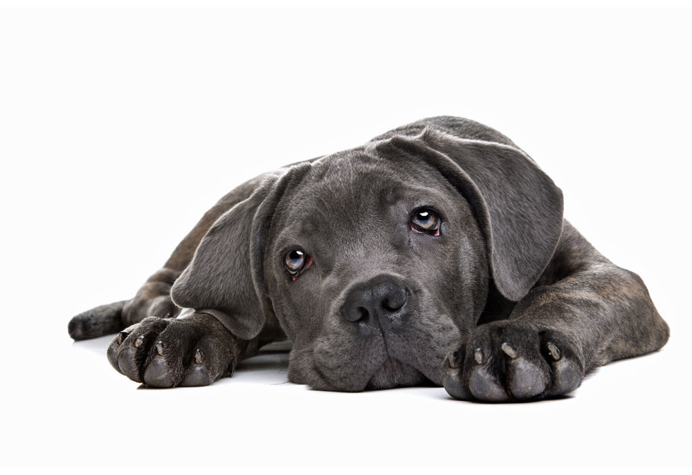 Picture of Cane Corso puppy