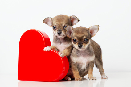 Valentine's Day Chihuahua Puppies with Heart, Love Dogs