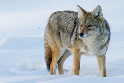 Coyote standing in the snow, watches something in the distance