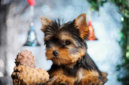 Cute Yorkshire terrier dog with Christmas decorations