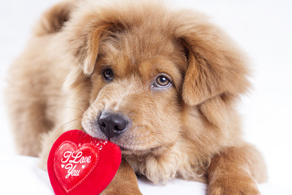 Simple Valentine Bow Adorable Dog - cute-furry-valentine-puppy  Best Photo Reference_2661  .jpg