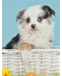 Australian shepherd puppy in white basket