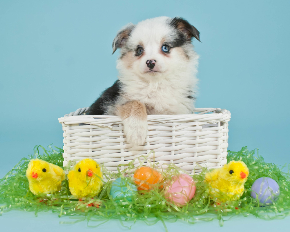Australian Shepherd Puppy In White Wicker Basket