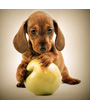 Adorable dachshund puppy with apple