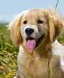 Beautiful Golden Retriever Puppy Lays in Golden Field