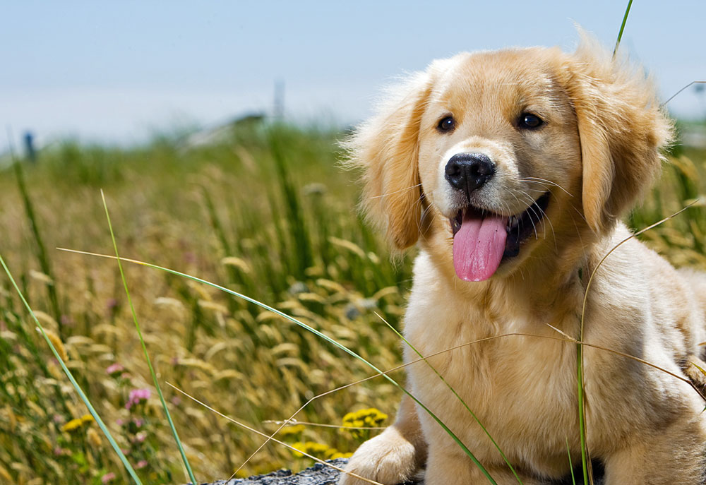 Golden Puppy Dog Laying in Field of Golden Grass