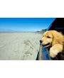 Golden retriever puppy takes car ride at beach