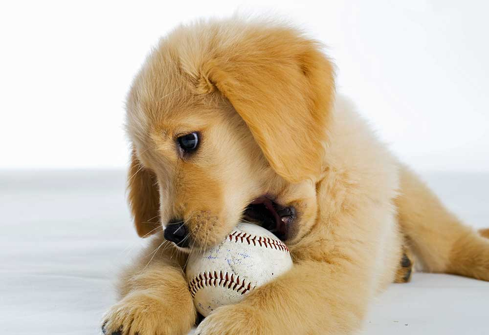 Picture Of Golden Retriever Puppy With Baseball Dog Photography