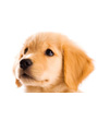 Picture of Cute Golden Retriever Puppy Face