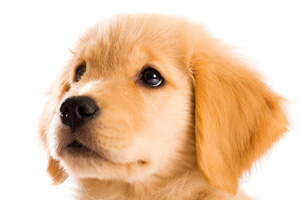Golden Retriever Puppy Close Up Dog Pictures Photography