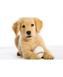 Golden retriever puppy with baseball
