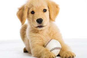 Clip Art Dogs Golden Retriever – Cliparts