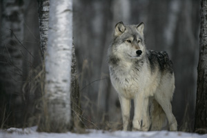 Wild grey wolf in the woods - photograph