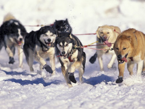 Iditarod Dog Sled Racing Poster