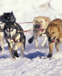 Dog Sled Racing, Iditarod Anchorage, Alaska