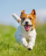 Jack Russell terrier running through grass