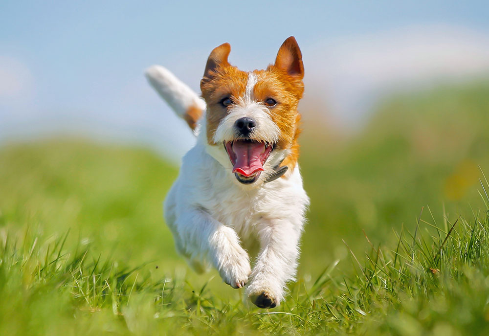 Picture of dog, Jack Russell terrier, running in grass