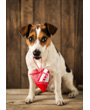 Jack Russell terrier with Valentine heart