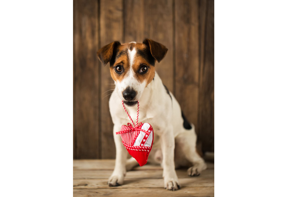 Jack Russell terrier holding heart on a string