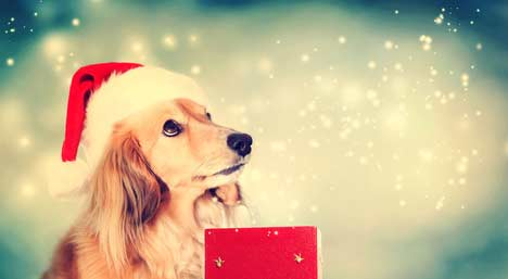 Magical Dachshund Christmas dog - dogs in pictures