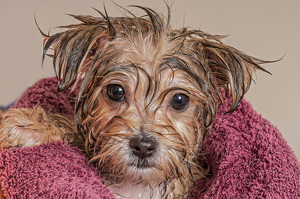 Picture of Maltese Yorkie Dog After Bath