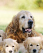Golden Retrievers with puppies
