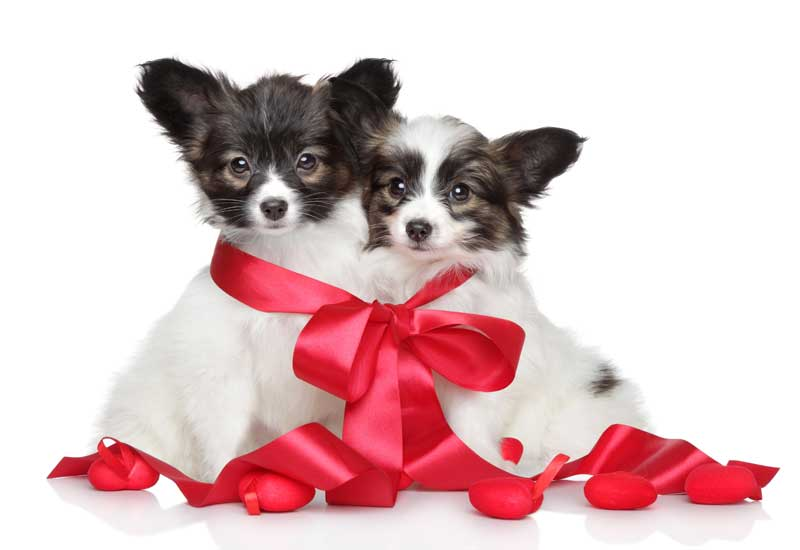 ... Adorably Cute Papillon Puppies Valentineu0027s Day Dogs, ...