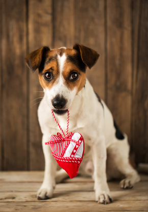 Jack Russell Terrier Dog Holds Valentine Heart, Love Dogs
