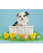 Australian shepherd puppy in Easter basket