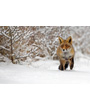Wild red fox in snowy woods