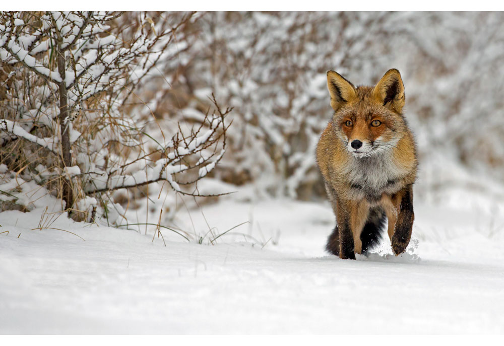 Picture of red fox in snowy woods