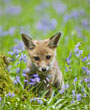 Red Fox Cub in Blue Flowers