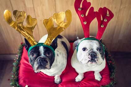 Two bull dogs wearing reindeer antlers for Christmas
