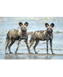 Two wild african dogs